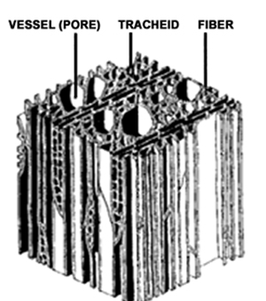 schematic diagram of hardwood, illustrating the relative appearance of  vessels and tracheids (vascular cells)